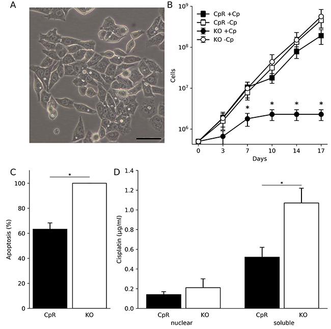 Human hepatoma cells lacking ATP7B can adapt to proliferation in toxic cisplatin.
