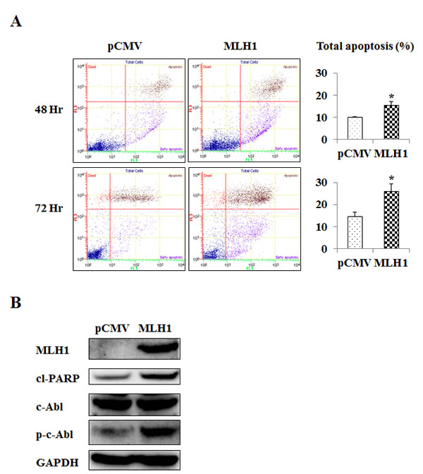 MLH1 expression upregulates apoptosis and phosphorylated c-Abl (p-c-Abl).