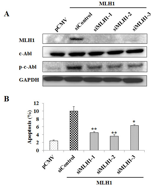 MLH1 knockdown reduces phosphorylated c-Abl (p-c-Abl) and apoptosis.