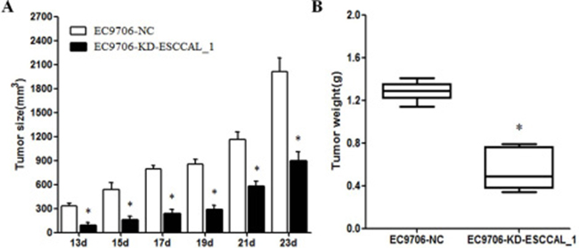 Effect of ESCCAL_1 knockdown on EC9706 cell growth in nude mice.