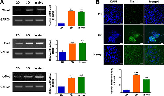 Expression of Tiam1, Rac1, and c-Myc in 2D- and 3D-cultured EL4 cells and their