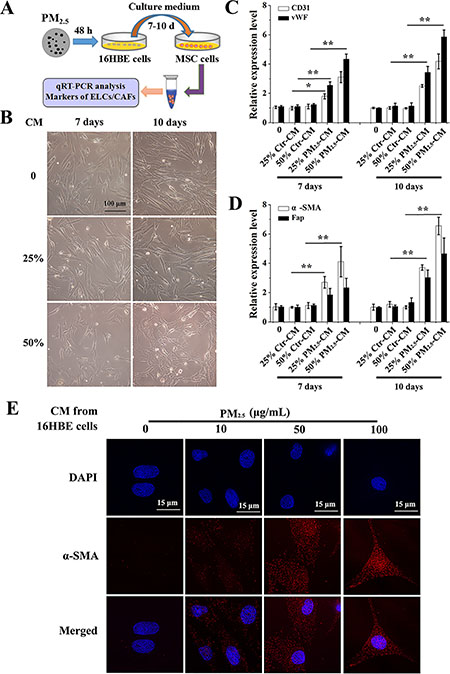 Conditioned medium from PM2.5-treated 16HBE cells induces the differentiation of BMSCs.