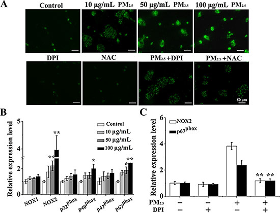 PM2.5 elevates the ROS production from NOX in 16HBE cells.