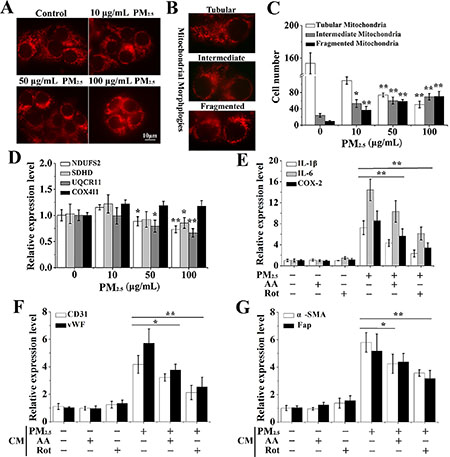 The differentiation of BMSCs provoked by inflammatory cytokines is mediated by PM2.5-induced ROS from mitochondria.
