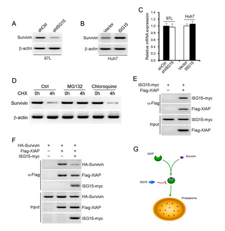 ISG15 maintains Survivin protein stabilization via XIAP.