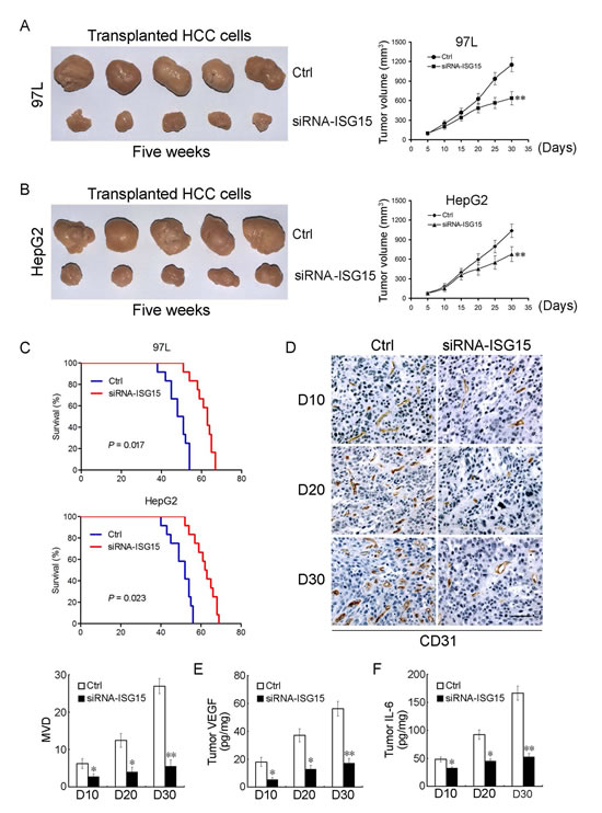 ISG15 silencing inhibits tumor growth, angiogenesis and prolongs tumor-bearing mice lifespan.