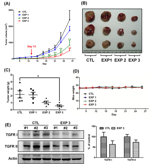 Continuous treatment of fucoidan has a greater efficacy in reducing the tumor volume and inhibits the expression of TGFRI and TGFRII.
