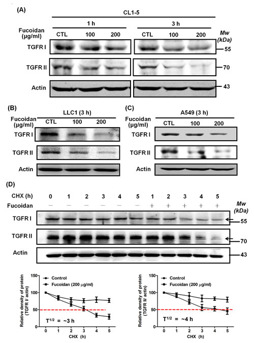 Fucoidan reduces the expression of TGFRI and TGFRII proteins by potentially accelerating protein degradation in NSCLCs.