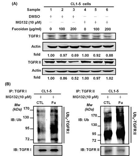Fucoidan enhances the proteasome-mediated degradation/ubiquitination of TGFRs in NSCLCs.
