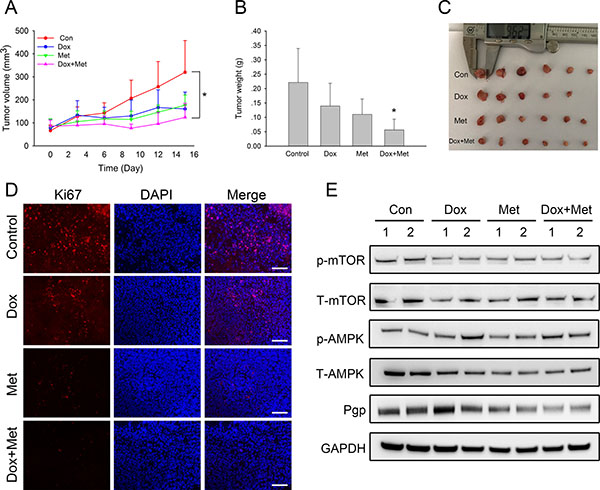 In vivo combined effect of metformin and doxorubicin on MCF7/ADR xenografts.