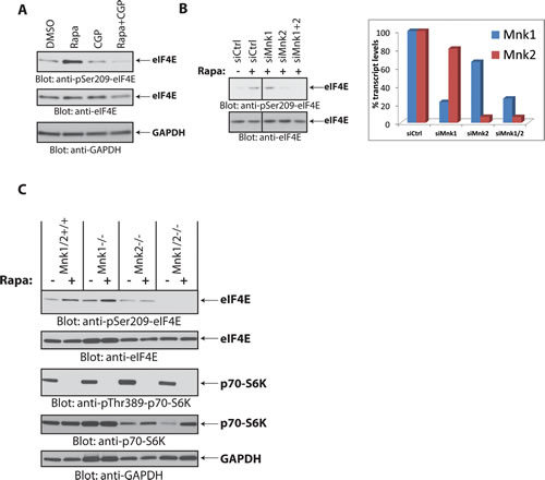 Mnk2 is required for rapamycin-induced eIF4E phosphorylation.