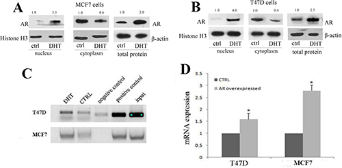 AR signaling transcriptionally mediated the expression of let-7a by activating let-7a promoter activity.