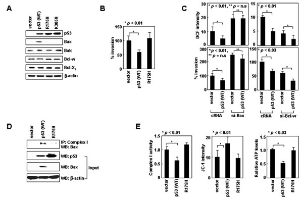 Nuclear p53 suppresses cell invasion by inducing Bax expression.