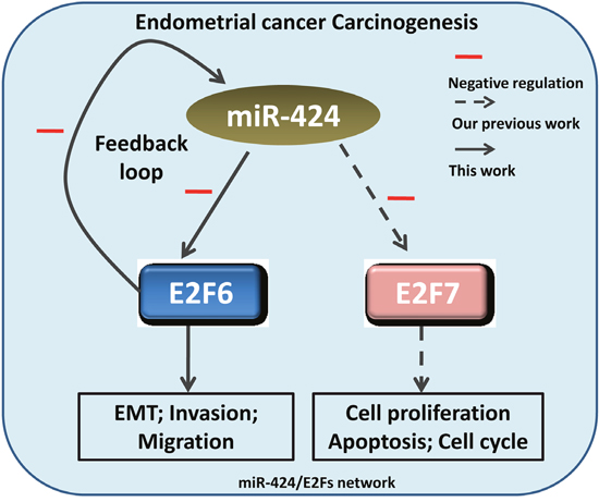 Oncotarget | MicroRNA-424/E2F6 feedback loop modulates cell invasion