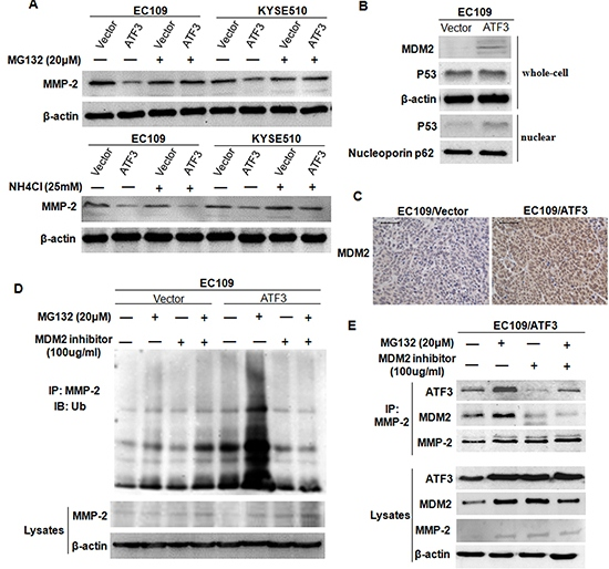 ATF3 mediated the degradation of MMP-2 in a MDM2 dependent manner.