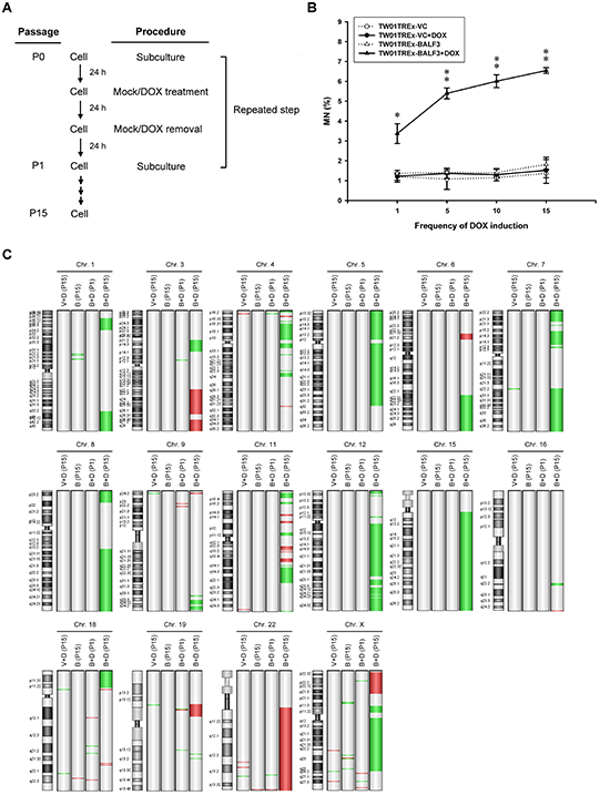 Accumulation of genomic instability in NPC cells after recurrent EBV BALF3 expression.