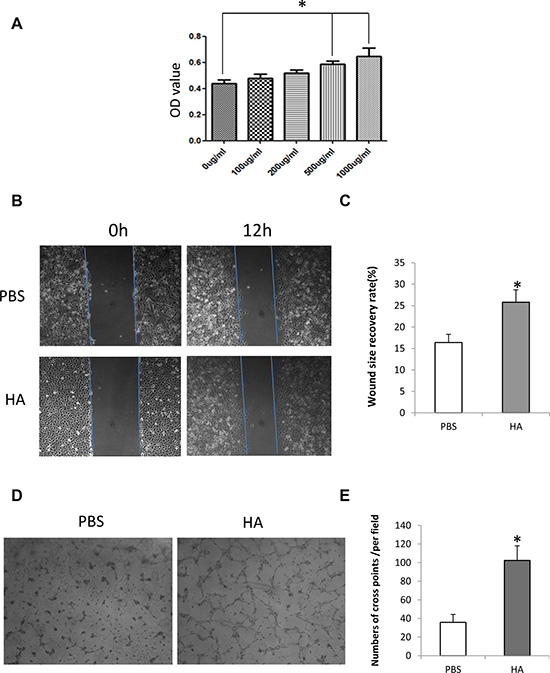 HMW-HA promotes proliferation, migration and tube formation of endothelial cells in vitro.
