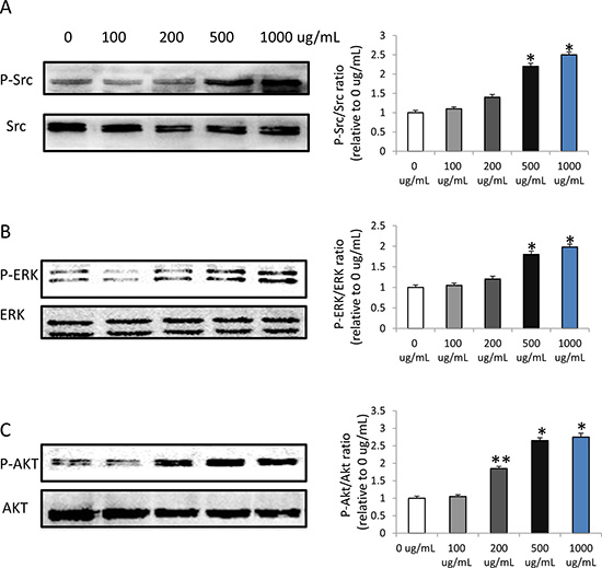 HMW-HA increases the phosphorylation of Src, ERK and AKT in endothelial cells by western blot detection.