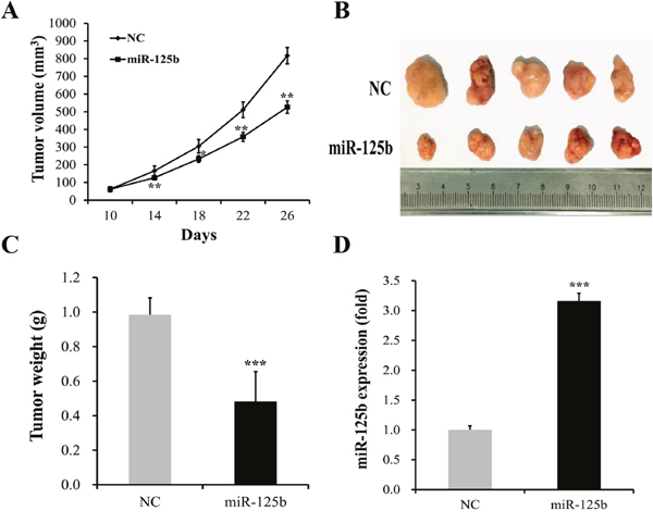 miR-125b overexpression reduced tumor growth of MGC-803 cells in vivo.