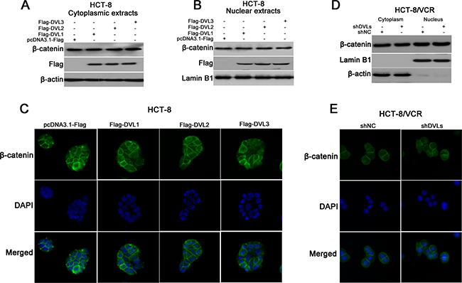 The effect of DVL on β-catenin nuclear translocation.