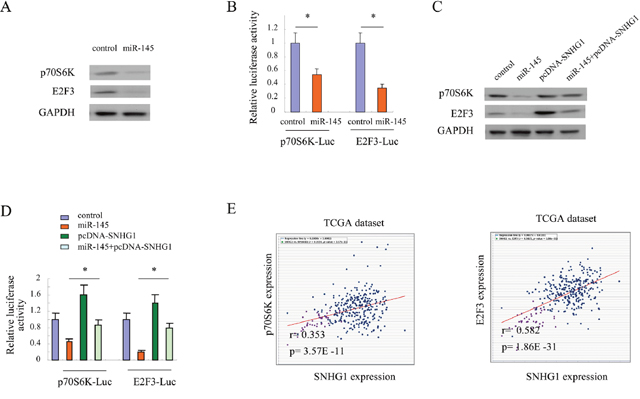 Target genes of miR-145 were modulated by SNHG1 in colorectal cancer cells.