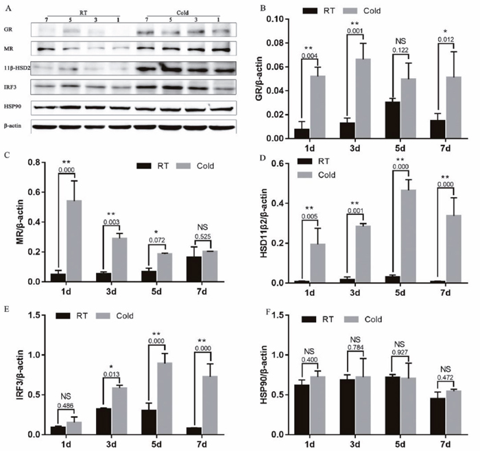 Effect of prenatal cold stress on the expression of GR, MR, 11β-HSD2, and IRF3 proteins.