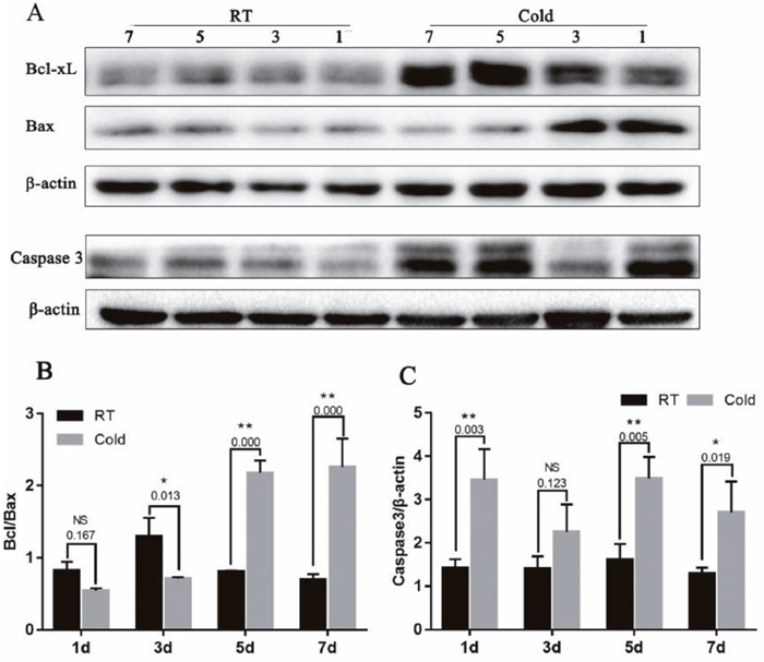 Effect of prenatal cold stress on the expression of Bcl-xL, Bax and Caspase3 proteins.
