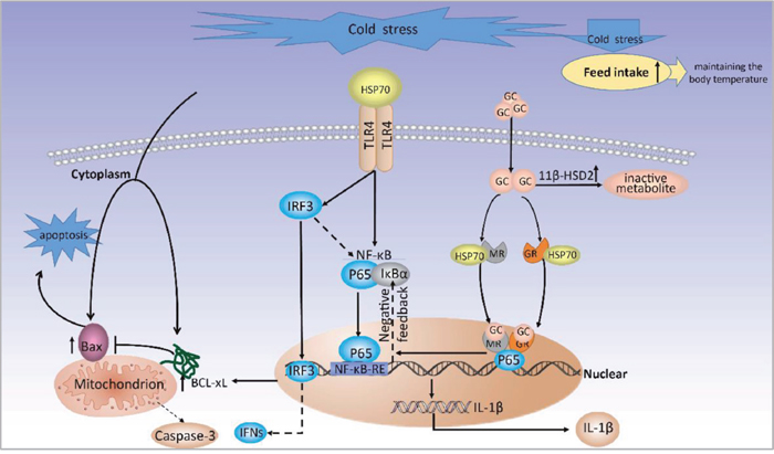 A proposed model for molecular mechanisms of prenatal cold stress on placental.