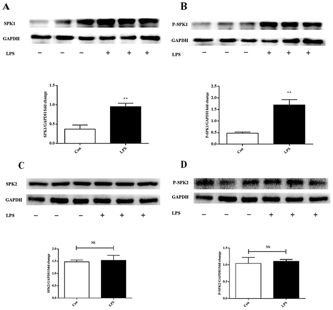 LPS increases SPK1, P-SPK1 protein expression in LPS induced ANA-1 cells.