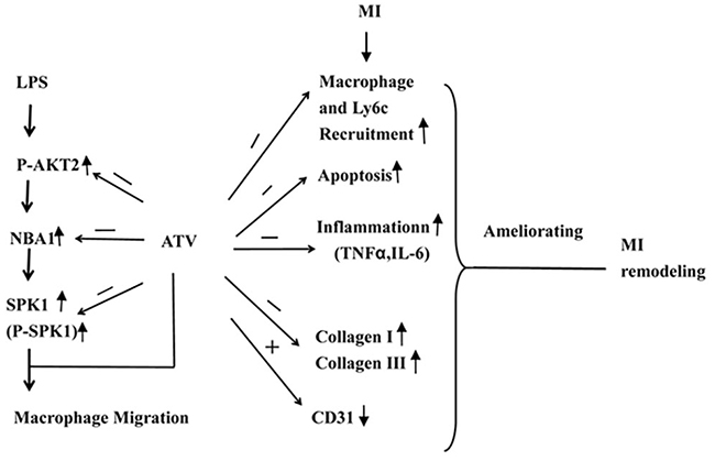 Model illustrating the mechanism of ATV-mediated MI remodeling.
