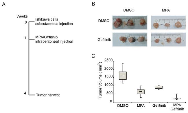 Gefitinib enhances MPA-mediated tumor suppression in the EC xenograft model in nude mice.