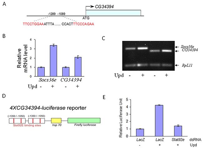 JAK/STAT signaling regulates CG34394 transcription in the Drosophila S2 cells.