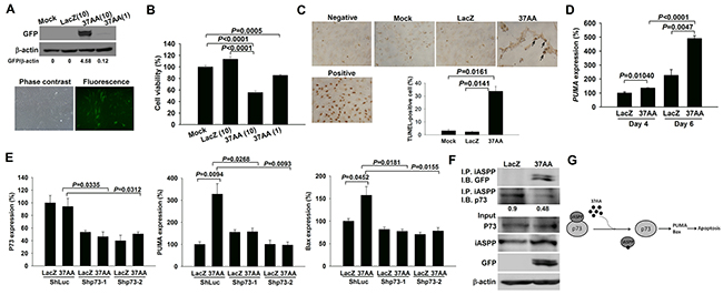 Induction of apoptosis in SFs by the activation of p73.
