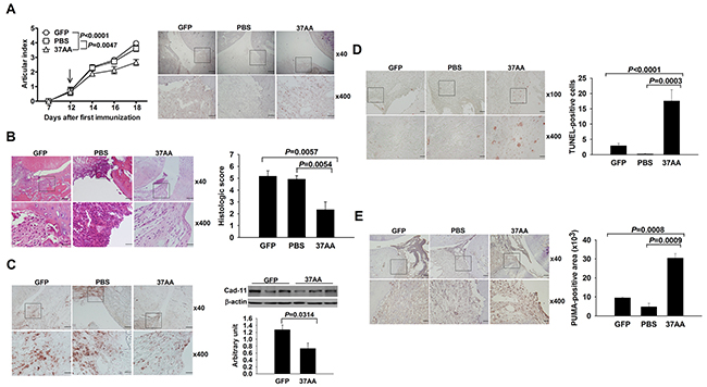 Amelioration of experimental arthritis by i.a. activation of p73.