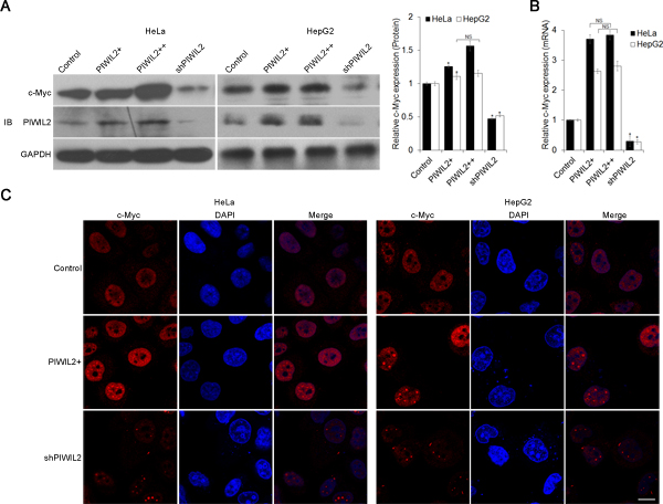 PIWIL2 alters c-Myc expression in tumor cells.