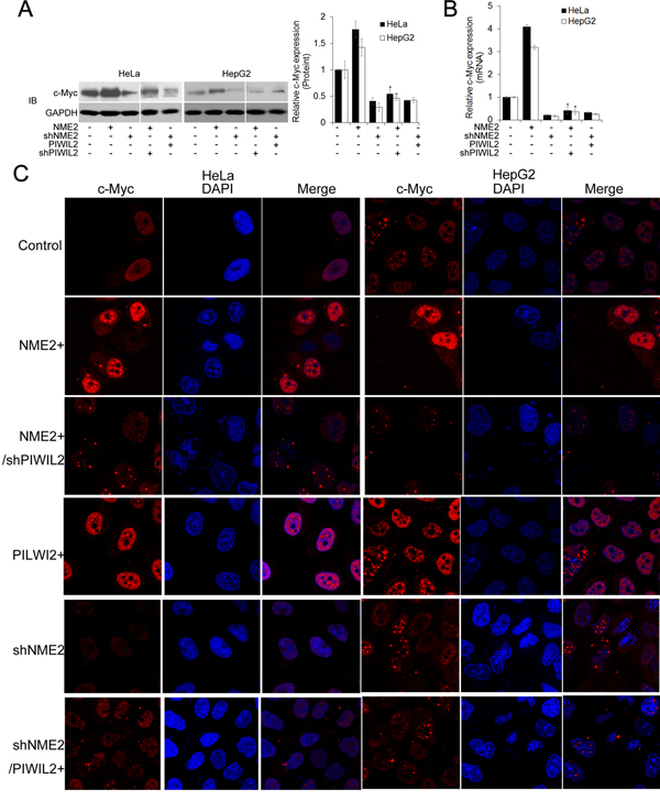 PIWIL2 is involved in regulation of c-Myc by NME2.