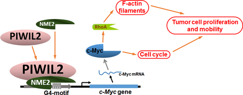 Model of PIWIL2 induction of c-Myc expression and modulation of c-Myc mediated cellular events.