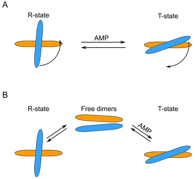 Schematic representation of different FBP2 R- to T-state transition models.