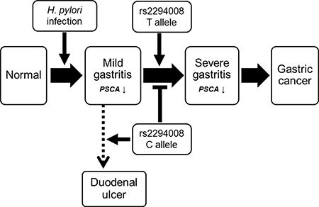 Scheme of SNP rs2294008 contribution to the diseases related with H. pylori infection including gastritis, gastric cancer, and duodenal ulcer