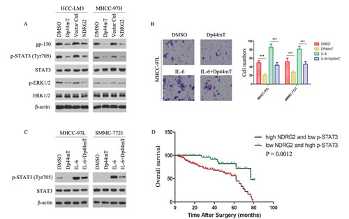 gp130/STAT3 pathway is involved in mediating Dp44mT action, and combination of NDRG2 expression and p-STAT3 signal is a powerful predictor of poor clinical outcome in HCCs.