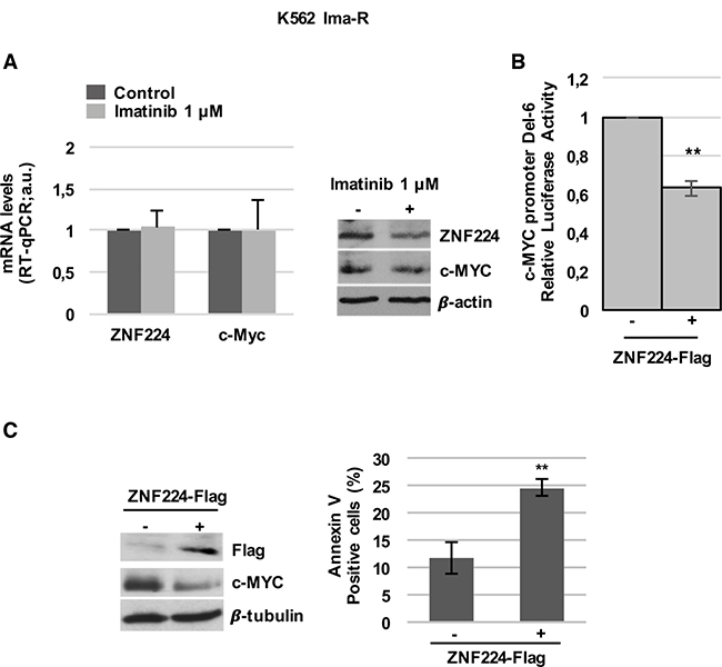 ZNF224 overexpression reduces c-Myc and induces cell death in K562 Ima-R cells.