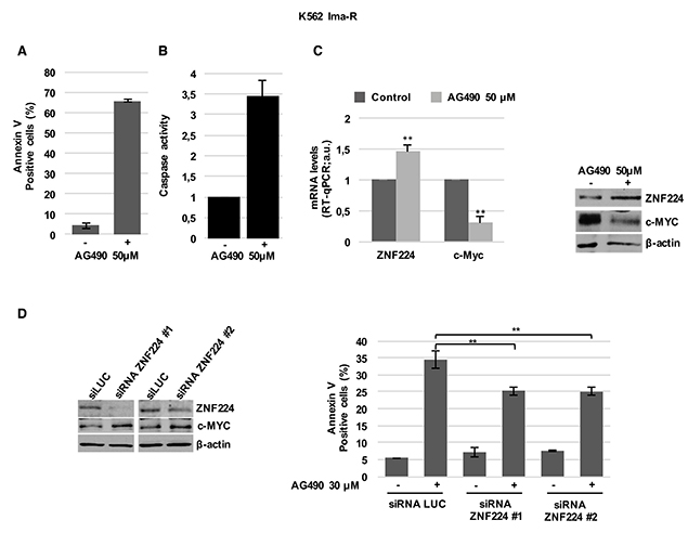 ZNF224 is involved in AG490-induced cell death of K562 Ima-R cells.