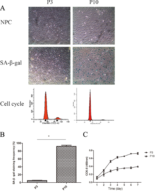 The cell proliferation potency of senescent NPCs was significantly decreased compared with that of non-senescent cells.