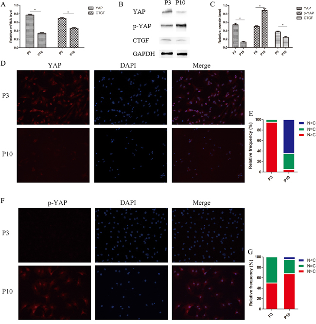 Hippo signaling activated and phosphorylated YAP, which translocated from the nucleus to the cytoplasm in senescent NPCs.