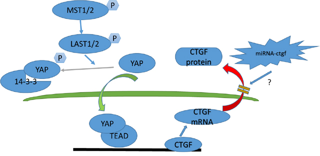Model depicting Hippo signaling pathway regulation in acute disc injury-induced IDD.