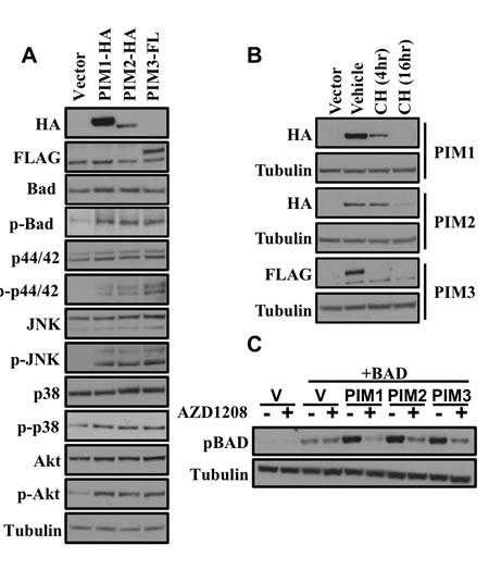 Comparison of in vitro biochemical properties of PIM1, PIM2 and PIM3 by western blot.