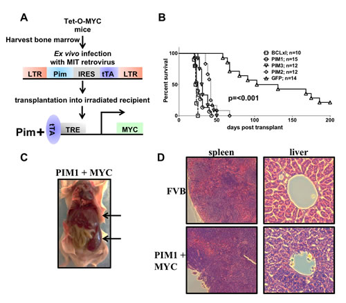 Expression of MYC and PIM1, PIM2 or PIM3 causes rapid and lethal leukemia.