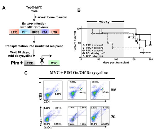Inhibiting expression of MYC at a pre-leukemic stage decreases the ability of PIM1, PIM2 or PIM3 to cause rapid leukemia onset.