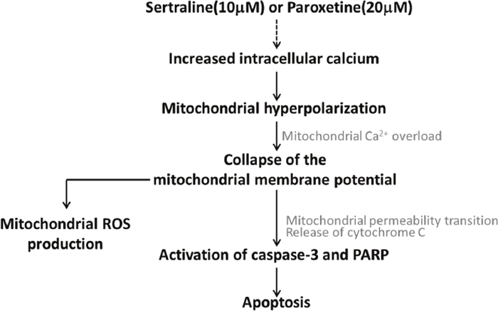 Working model related to sertraline- and paroxetine-induced astrocyte apoptosis.