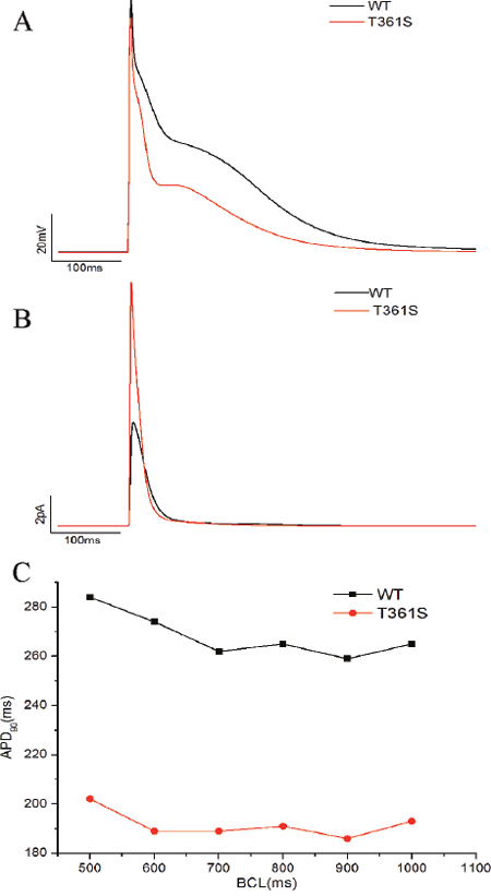 Computer simulation of the effect of the T361S mutation.